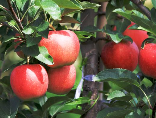 米奇拉苹果