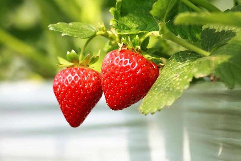 弥勒230亩冬草莓红了
