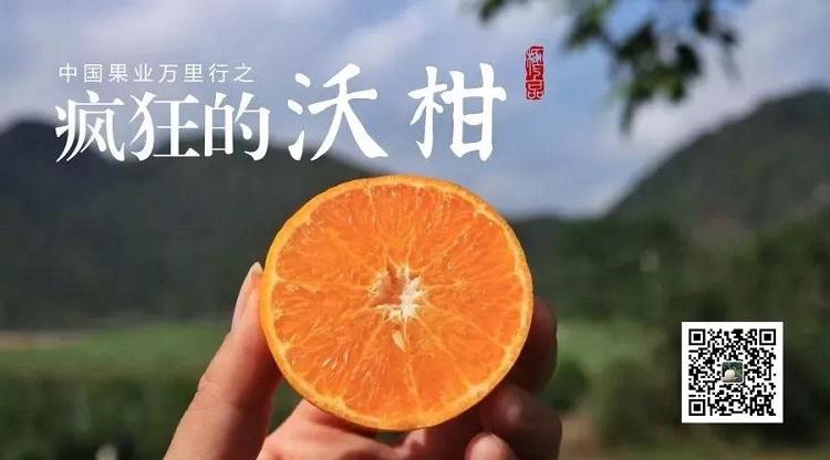 来宾uwin电竞app:广西土豪柑橘园实景拍摄,接轨世界先进模式